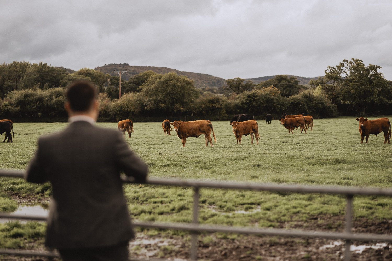 Groom looks into a cow field at Faenol Fawr, Denbigh, North Wales